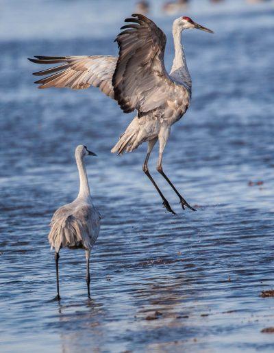 Sandhill Cranes, Lodi
