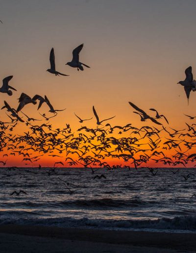 Shorebirds, Myrtle Beach