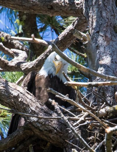 Nesting Bald Eagle, Lake Amanor